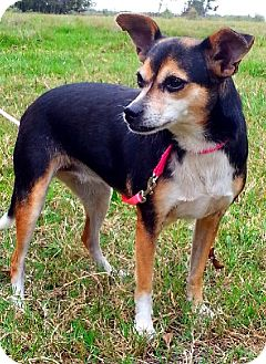 Chihuahua/Jack Russell Terrier Mix Dog for adoption in Simsbury, Connecticut - Daisy