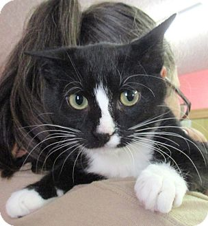 Domestic Shorthair Kitten for adoption in Reeds Spring, Missouri - Pluto