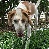 Hound (Unknown Type) Mix Dog for adoption in Key Biscayne, Florida - Ralphie