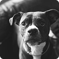 Adopt A Pet :: Lily - Dayton, OH