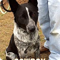 Adopt A Pet :: Cowboy - Jackson, NJ