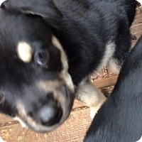 Rottweiler/Shepherd (Unknown Type) Mix Puppy for adoption in Helotes, Texas - Shara
