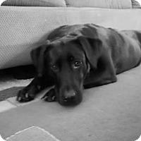 Adopt A Pet :: COOKIE 6 - Chandler, AZ