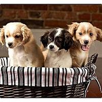 Adopt A Pet :: Steven - Owensboro, KY