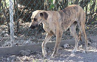 Greyhound/Shepherd (Unknown Type) Mix Dog for adoption in Key Biscayne, Florida - Ellie