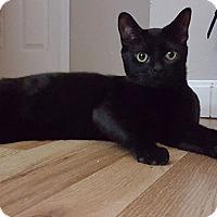 Adopt A Pet :: Ollie - Mount Clemens, MI