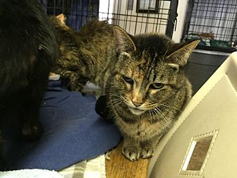 Domestic Shorthair Cat for adoption in Bourbonnais, Illinois - Melissa