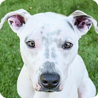 American Pit Bull Terrier Mix Dog for adoption in San Antonio, Texas - Chula