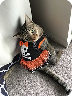 Domestic Shorthair Cat for adoption in Carlisle, Pennsylvania - AngelicaPENDING