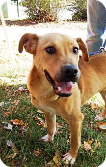 Hound (Unknown Type)/Retriever (Unknown Type) Mix Dog for adoption in Lincolnton, North Carolina - Noticians