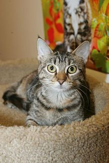 Domestic Shorthair Kitten for adoption in Capshaw, Alabama - Lucy