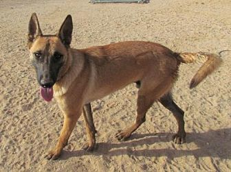 Belgian Malinois Dog for adoption in San Tan Valley, Arizona - Uno