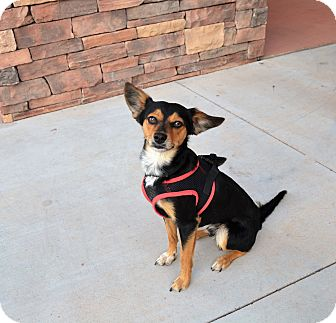 Miniature Pinscher/Manchester Terrier Mix Dog for adoption in Chandler, Arizona - Twix