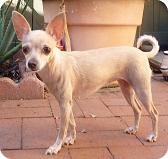 Chihuahua Mix Dog for adoption in San Diego, California - Maisy Mae