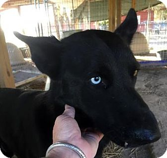 Shepherd (Unknown Type)/Husky Mix Dog for adoption in Quinlan, Texas - ICE Blue
