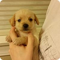 Adopt A Pet :: Contessa - Houston, TX