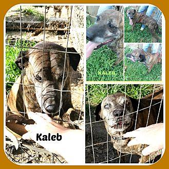 Mountain Cur/Hound (Unknown Type) Mix Dog for adoption in Malvern, Arkansas - KALEB