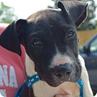 Adopt A Pet :: Stitch - CRANSTON, RI