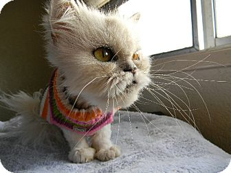 Persian Cat for adoption in Beverly Hills, California - Tootie