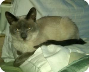 Siamese Cat for adoption in Raritan, New Jersey - Simi