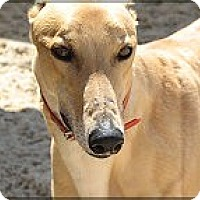 Adopt A Pet :: Calhoun - St Petersburg, FL