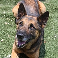 German Shepherd Dog Dog for adoption in Winder, Georgia - Buddy