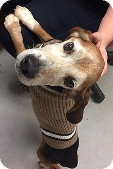 Beagle Mix Dog for adoption in Hayes, Virginia - Bones