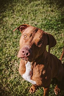 American Bulldog/Black Mouth Cur Mix Dog for adoption in Houston, Texas - Samson- Professionally Trained