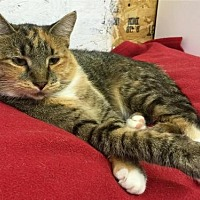 Domestic Shorthair Cat for adoption in Flint HIll, Virginia - Starlight