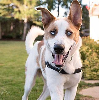 Husky Mix Dog for adoption in Winnipeg, Manitoba - Bloo