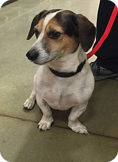 Jack Russell Terrier/Beagle Mix Dog for adoption in Irmo, South Carolina - Loxy