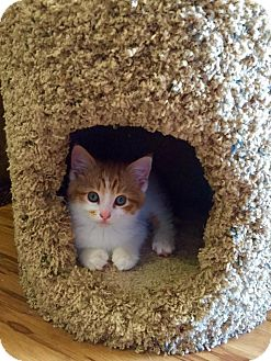 Domestic Mediumhair Kitten for adoption in Burlington, North Carolina - WINSTON