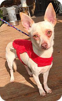 Rat Terrier/Dachshund Mix Dog for adoption in Santa Ana, California - Melman