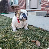 Adopt A Pet :: Denzel Pawshington - Park Ridge, IL