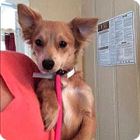 Spaniel (Unknown Type) Mix Dog for adoption in Encino, California - Blossom