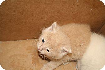 Domestic Shorthair Kitten for adoption in Washington Terrace, Utah - Sunkist