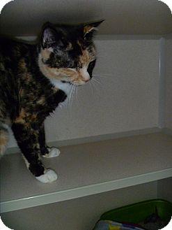 Domestic Shorthair Cat for adoption in Hamburg, New York - Ally