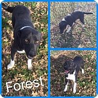 Collie Mix Dog for adoption in Alvarado, Texas - Forest