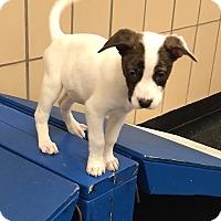 Adopt A Pet :: Pearl - Battle Creek, MI