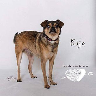 Shih Tzu/Poodle (Miniature) Mix Dog for adoption in Sherman Oaks, California - Kujo