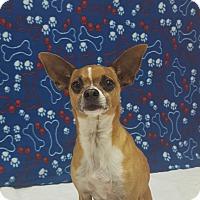 Adopt A Pet :: Sir Rigsy - Hawk Point, MO