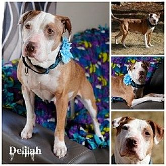 Pit Bull Terrier Dog for adoption in Sioux Falls, South Dakota - Delilah