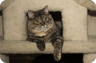 Domestic Mediumhair Kitten for adoption in Lombard, Illinois - Cosette