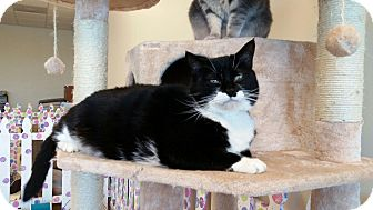 Domestic Shorthair Cat for adoption in Maryville, Tennessee - Batman