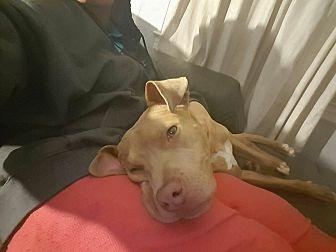 Labrador Retriever/American Staffordshire Terrier Mix Dog for adoption in Levitttown, New York - Kyro