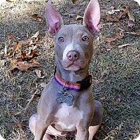 Pit Bull Terrier Dog for adoption in McCalla, Alabama - Morticia