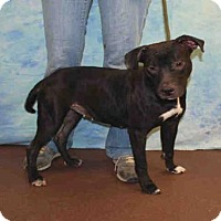 Adopt A Pet :: VIOLET MARIE - Louisville, KY