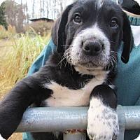 Adopt A Pet :: JOE PALOOKA - Williston Park, NY