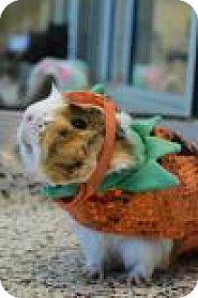 Guinea Pig for adoption in Aiken, South Carolina - Piggy