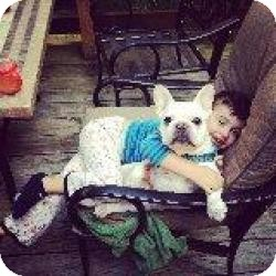 French Bulldog Dog for adoption in Mahopac, New York - Shaymis